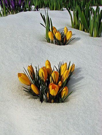 SpringPromts_tulips