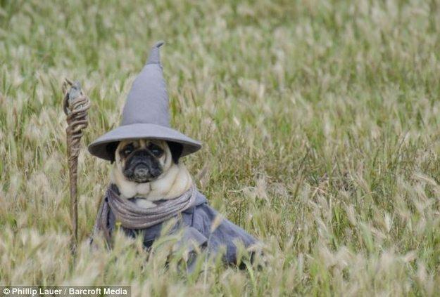 Gandalf Pug